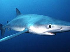 Tiburón a granel