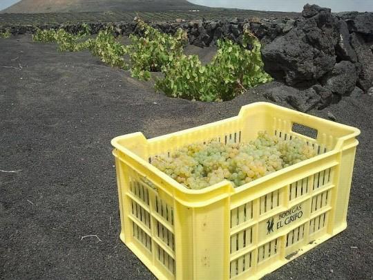 El viñedo volcánico de El Grifo.