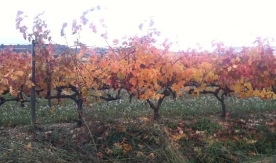 Aspecto de los viñedos en los alrededores de Laguardia (foto: Igor Cubillo)