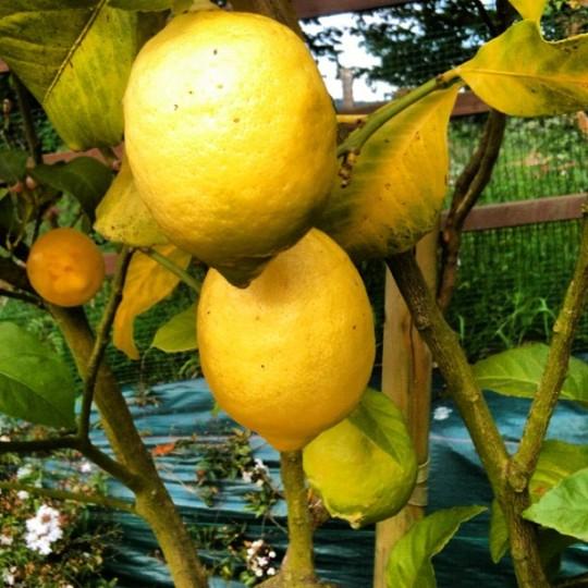 Ay limón, mi limonero