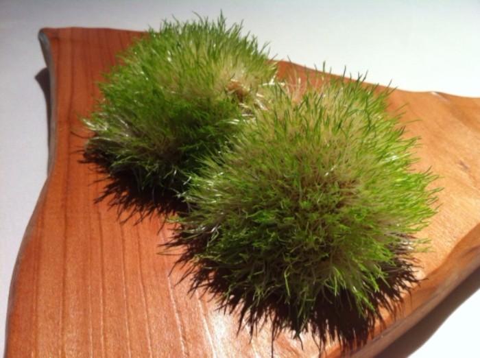 Teselas vegetales. Un manojo de semillas y brotes de teff, en Mugaritz (foto: Cuchillo)