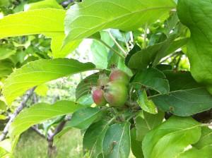 Las manzanas de Etxeburua, en primavera (foto: Cuchillo)