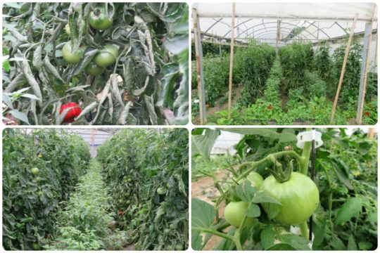 Cuate, en Karabeleko hay tomate (fotos: Cuchillo)