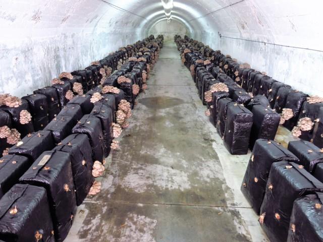 Fardos de setas ostra distribuidos en un hangar (foto: Cuchillo)