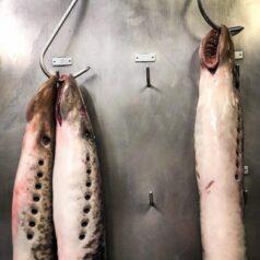 Justicia poética para la lamprea, para la chupona
