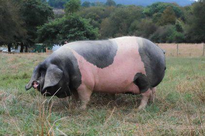 Rotundo ejemplar de cerdo pío negro, euskal txerri (foto: Yoana Salvador)