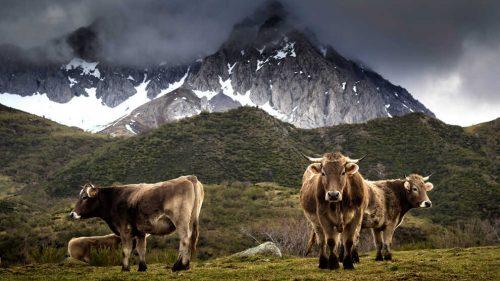 Bueyes de Valles del Esla en Peña Oubiña (foto: Luis de las Alas)